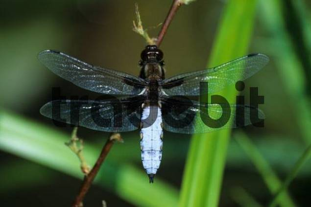 Male Broad-bodied Chaser dragonfly Libellula depressa, Libellulidae family of Skinners or Perchers