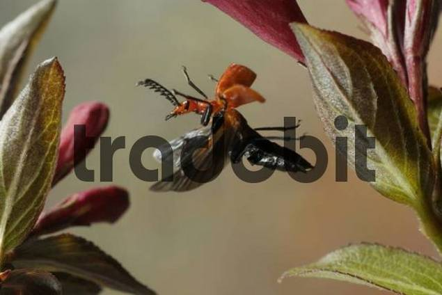 Red-headed Cardinal Beetle Pyrochroa serraticornis