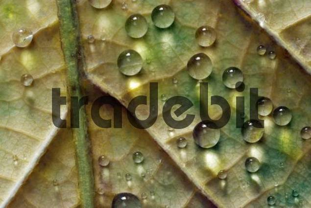 Water droplets on an autumn leaf
