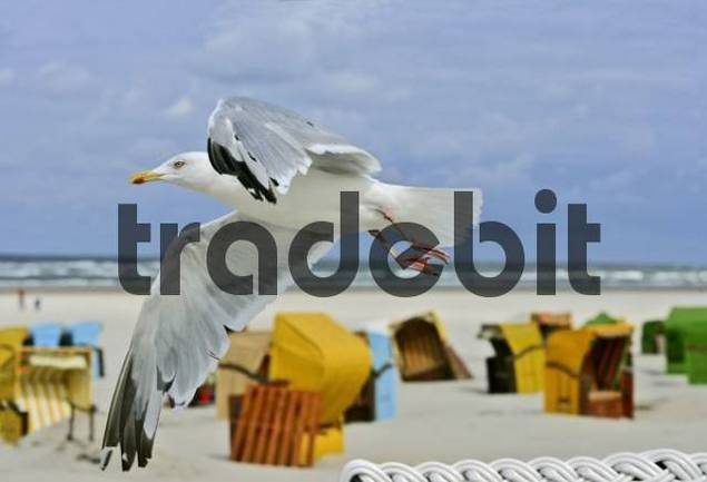 Herring Gull Larus argentatus flying above beach chairs, Juist, island in the North Sea, Lower Saxony, Germany