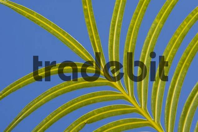 Palm frond, Indonesia, Asia