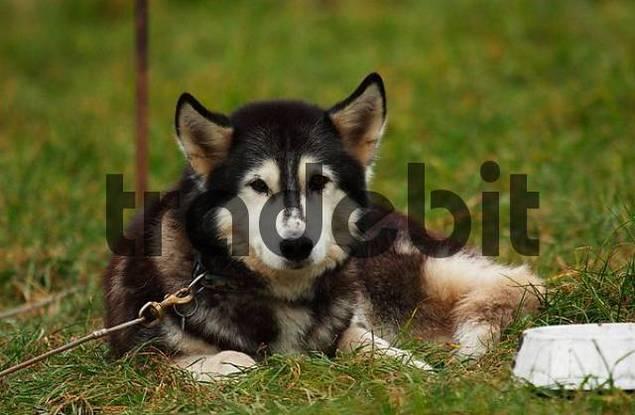 Siberian Husky, canis lupus familiaris