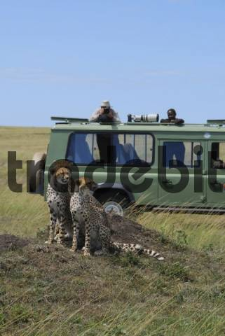 Three cheetahs acinonyx jubatus  sitting on a hill in front of a jeep with photographer and camera, Masai Mara National Game Reserve, Kenya, Africa