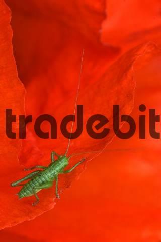 Field- or Red Poppy Papaver rhoeas with Oak Bush Cricket or Drumming Katydid Meconema thalassinum Ingolstadt, Bavaria, Germany, Europe