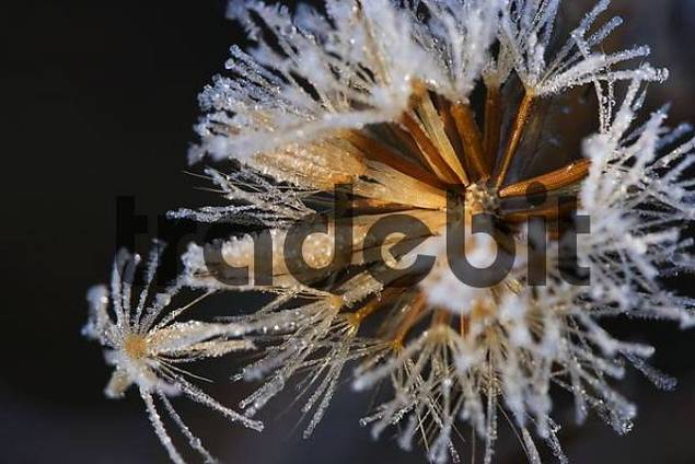 Meadow Salsify Tragopogon pratensis, Bayrischer Wald Bavarian Forest, Bavaria, Germany, Europe