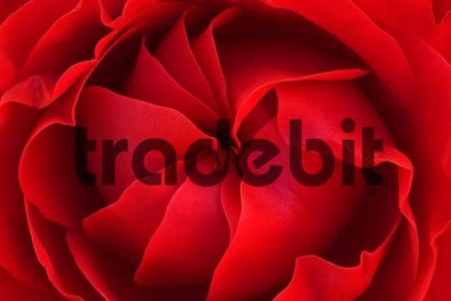 Red rose, Ingolstadt, Bavaria, Germany, Europe
