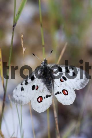 Apollo Butterfly Parnassius apollo, Eichstaett, Bavaria, Germany, Europe