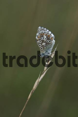 Adonis Blue Lysandra bellargus, Bavaria, Germany, Europe