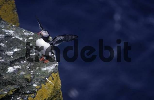 Atlantic puffin Fratercula arctica near Duncansby Head, Scotland, Great Britain