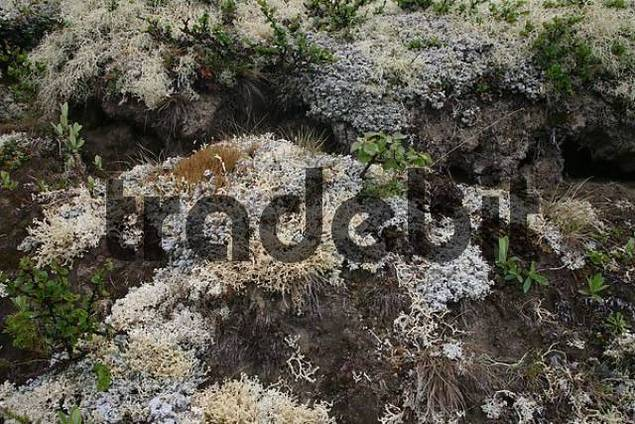 Reindeer Lichen or Caribou Moss Cladonia rangiferina, Tundra, Dovrefejell National Park, Norway, Europe
