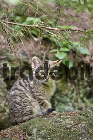 European Wildcat Felis silvestris, cup, Bavarian Forest