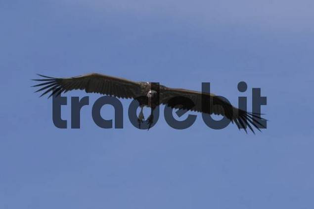 Flying vulture, Masai Mara National Reserve, Kenya, Africa