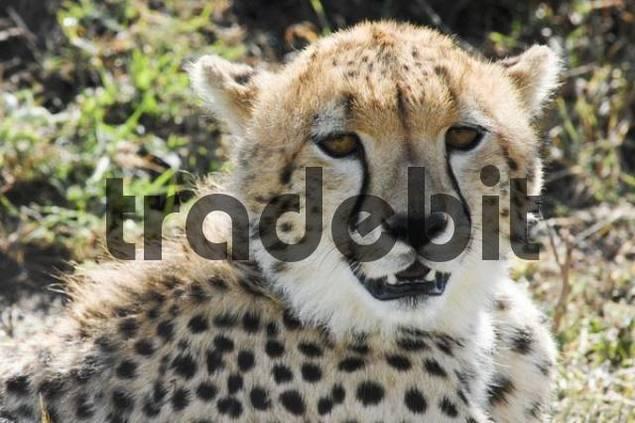 Cheetah Acinonyx jubatus, Masai Mara National Reserve, Kenya, Africa