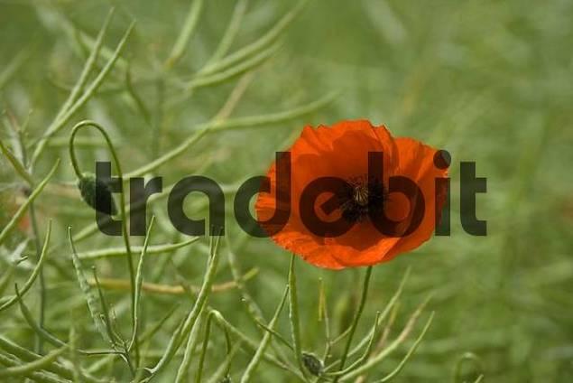 Poppy growing in canola field