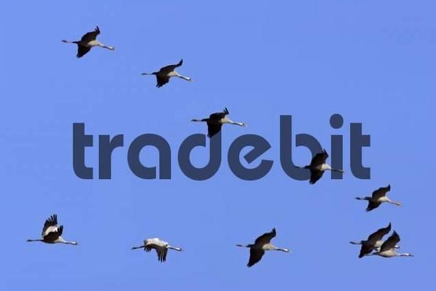 flying common cranes Grus grus - National Park Vorpommersche Boddenlandschaft, Mecklenburg-Western Pomerania, Germany, Europe,