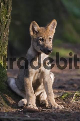 European wolf Canis lupus lupus pup, puppy