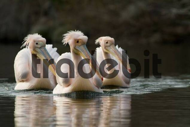 Three White Pelicans Pelecanus onocrotalus swimming in wedge formation toward viewer, Mannheim, Baden-Wuerttemberg, Germany, Europe