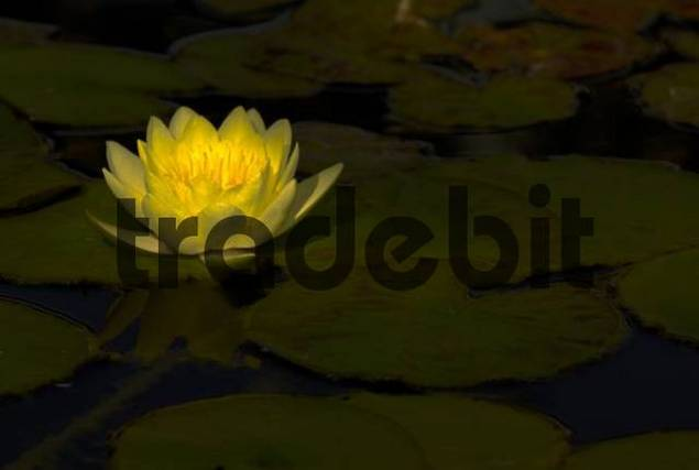 Yellow Waterlily Nymphaea blossom floating amid green leaves, Luisenpark, Mannheim, Baden-Wuerttemberg, Germany, Europe