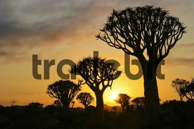 Quiver trees, sunset, Quiver tree forest, Farm Gariganus, Keetmannshoop, Namibia, Africa