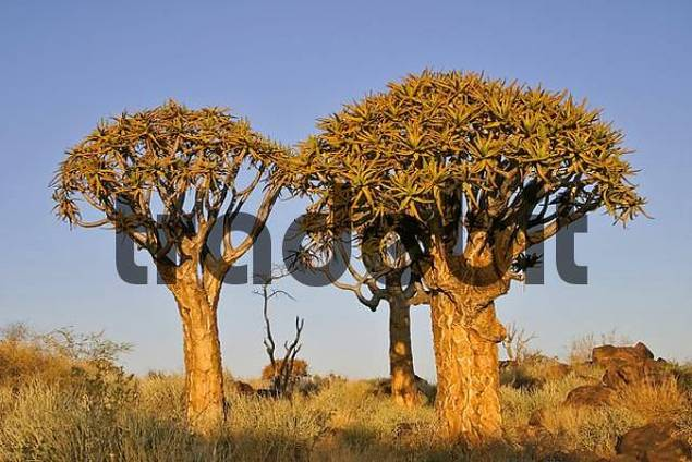 Quiver trees, Quiver tree forest, Farm Gariganus, Keetmannshoop, Namibia, Africa