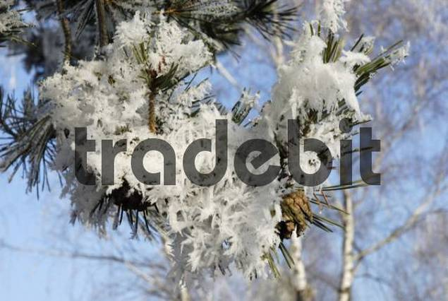 Hoarfrost crystals covering twig of pine, pinus sylverstris pinaceae