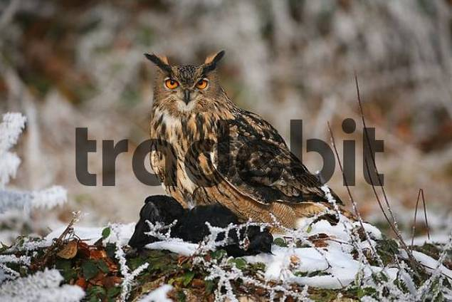 Eurasian Eagle Owl Bubo bubo in wintertime with prey, Crow