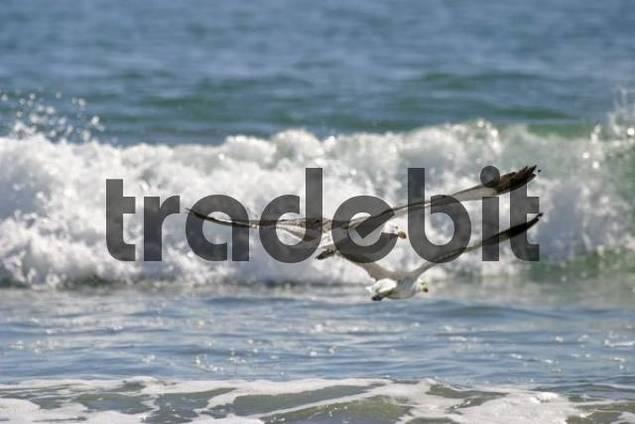 Albatross Diomedeidae, Atlantic, Namibia, Africa