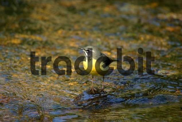 Grey Wagtail Motacilla cinerea in a brook