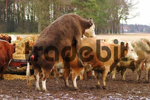 young cow trying to copulate with another
