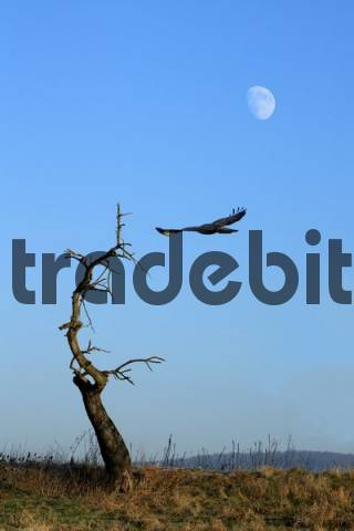 Bird of prey, moon
