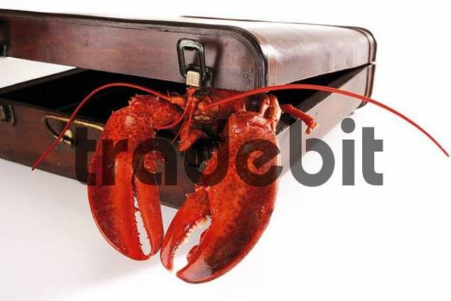 Cooked lobster in a suitcase