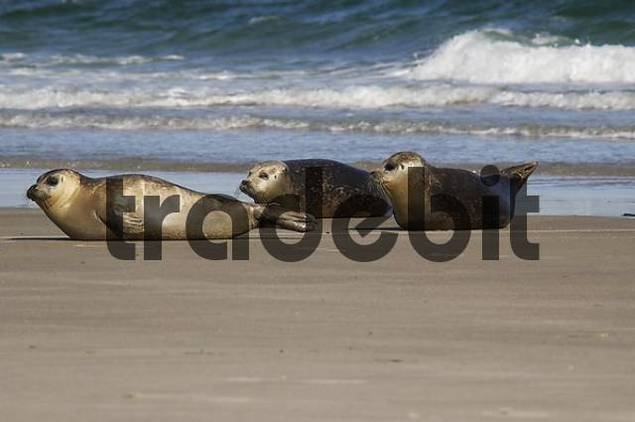 Common Seals Phoca vitulina, Helgoland Island, North Sea, Schleswig-Holstein, Germany