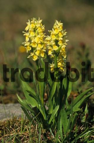 Elder-flowered Orchid Dactylorhiza sambucina, yellow variety from the Orchidaceae or Orchid family