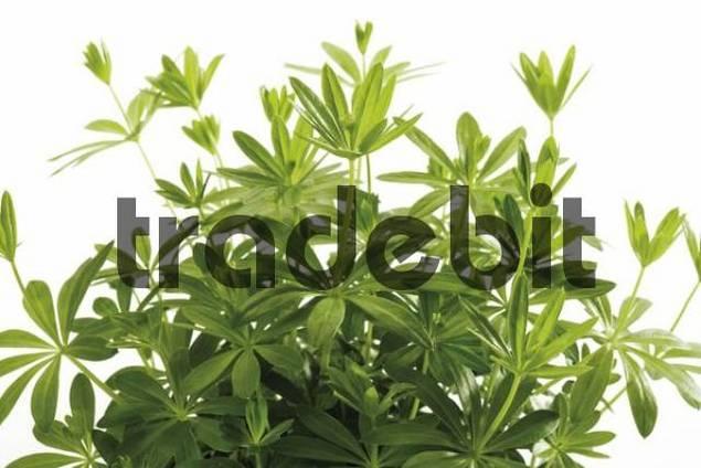 Woodruff or Wild Babys Breath Galium odoratum