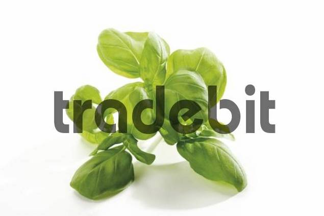 Basil Ocimum basilicum