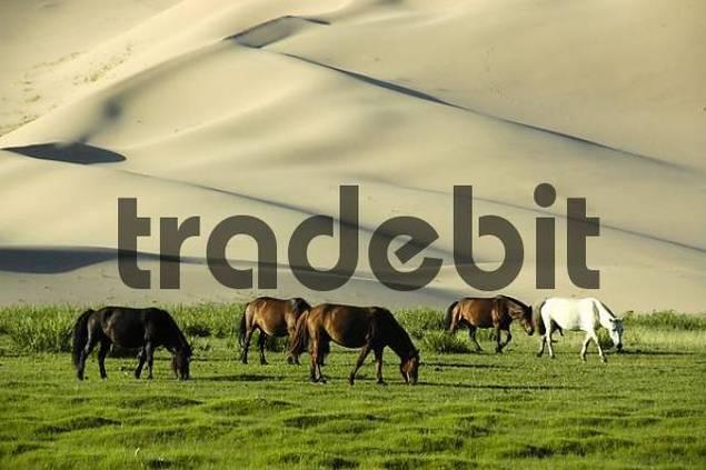 Grazing horses in front of dunes in Gobi Desert Khongoryn Els Gurvan Saikhan National Park Mongolia