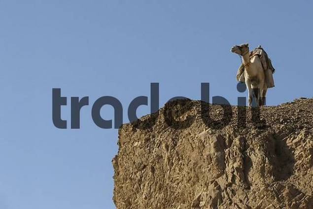 Egypt, Sinai, Dahab, lone camel in the desert