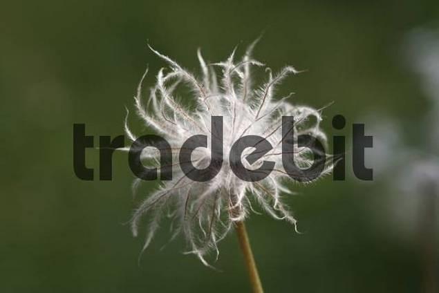 infructescence, Spring Anemone, Pulsatilla vulgaris, Germany