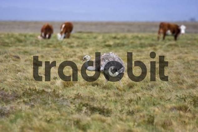 Nandu or Darwins Rhea Rhea pennatus at Torres del Paine National Park, Patagonia, Chile, South America