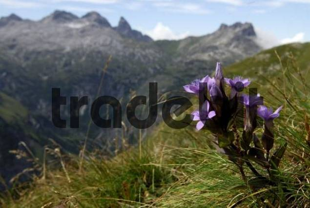 Chiltern Gentian Gentianella germanica with Allgaeu Alps in background, Holzgau, Lech Valley, Tirol, Austria, Europe