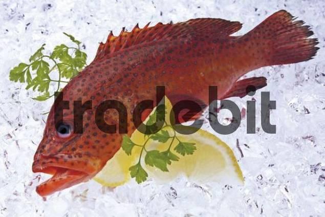 Miniata Grouper Cephalopholis miniata fish on ice