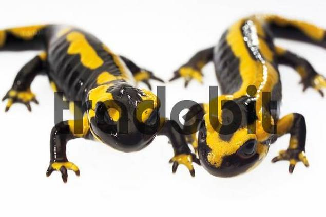 Two Fire Salamanders Salamandra salamandra