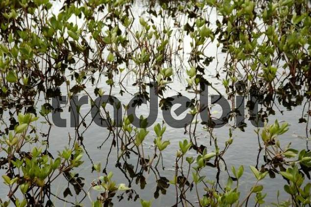 Water plants mirror in the water Flakstadoya Lofoten Norway