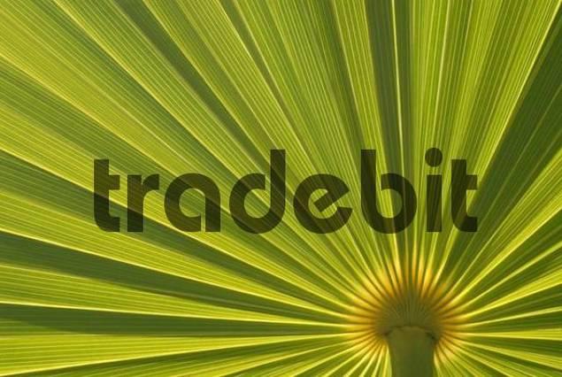 Palm leaf Arecaceae