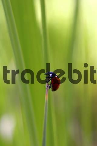 Ladybug or Ladybird Coccinellidae climbing stalk