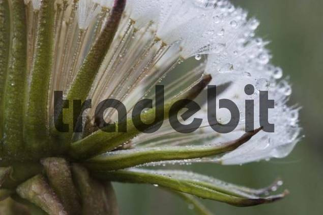 Dew-covered Dandelion Taraxacum officinale, Nationalpark Bayrischer Wald Bavarian Forest National Park, Bavaria, Germany, Europe