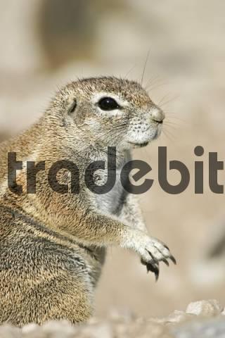African ground squirell Xerus rutilus, Etosha National Park, Namibia, Africa