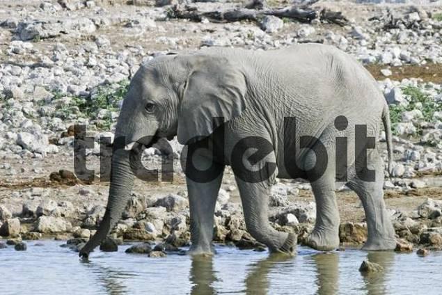 Elephant Loxodonta africana at the waterhole Okaukuejo in Etosha National Park, Namibia, Africa