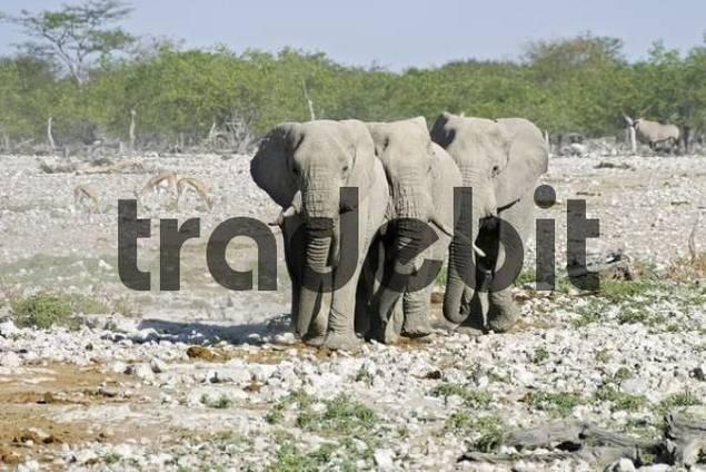Elephants Loxodonta africana in direction to the waterhole Okaukuejo in Etosha Park National, Namibia, Africa