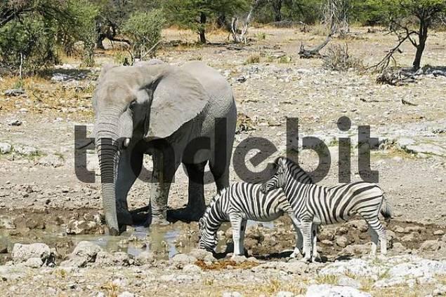 Elephant Loxodonta africana and zebras Equus quagga burchelli at waterhole in Etosha National Park, Namibia, Africa